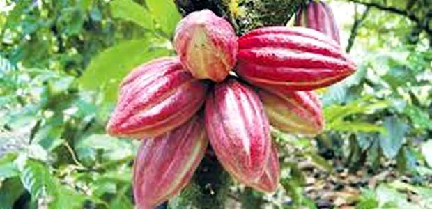 Curso de actualización del cultivo de cacao en Cartago