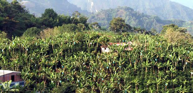Risaralda se consolida como territorio cafetero y platanero