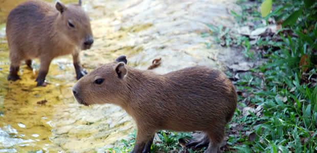 Gobernador del Valle propone enviar chigüiros de Casanare al departamento