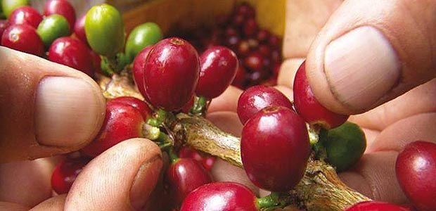 Fenómeno de El Niño afectará la producción cafetera del norte del Valle