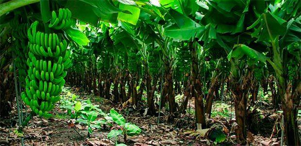 El plátano y el banano, cultivos que han reemplazado los del café en el norte del Valle del Cauca