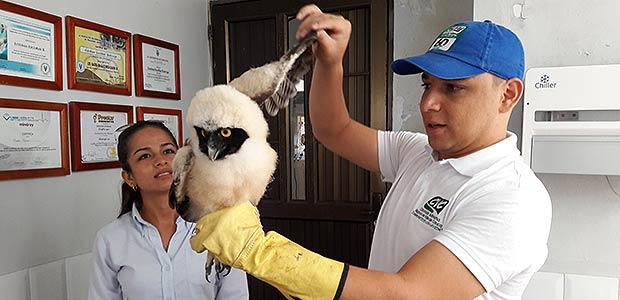 Niño cartagüeño rescata búho de anteojos pichón