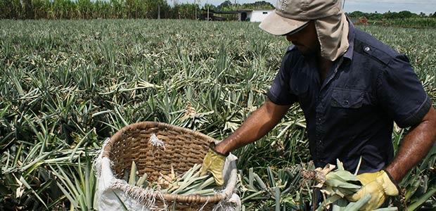 En el Valle se hablará sobre piña para exportación