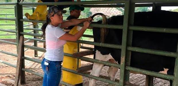 En Cartago le apuestan al mejoramiento genético bovino