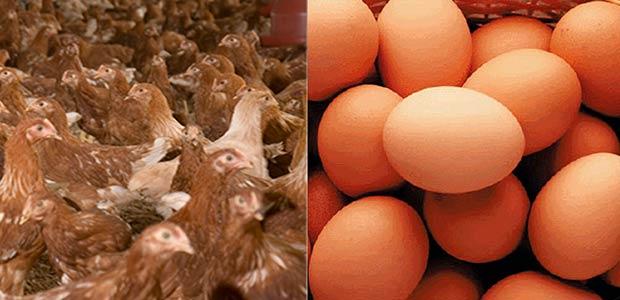 En el Valle se destinará $4.500 millones de regalías para fortalecer cadena avícola