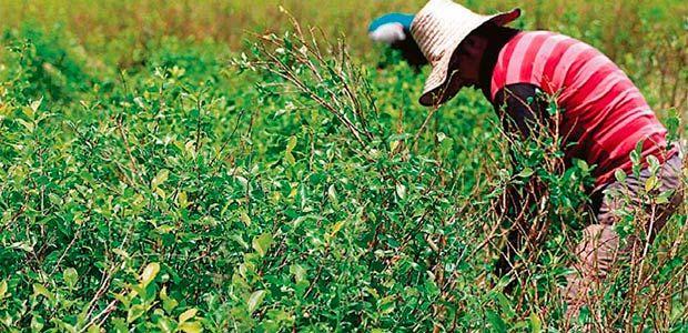 Hay sustitución de coca o se erradica, ultimátum de la Gobernadora en Jamundí