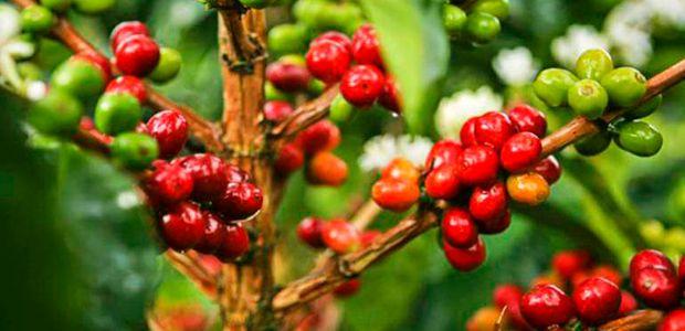 Por crisis de precios cafeteros de Risaralda se sumarán a protesta nacional