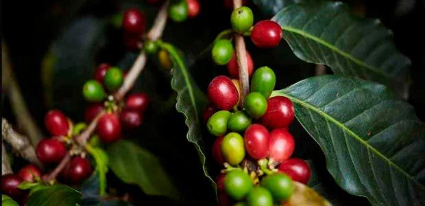 Posible propagación de la roya tiene en alerta al sector cafetero
