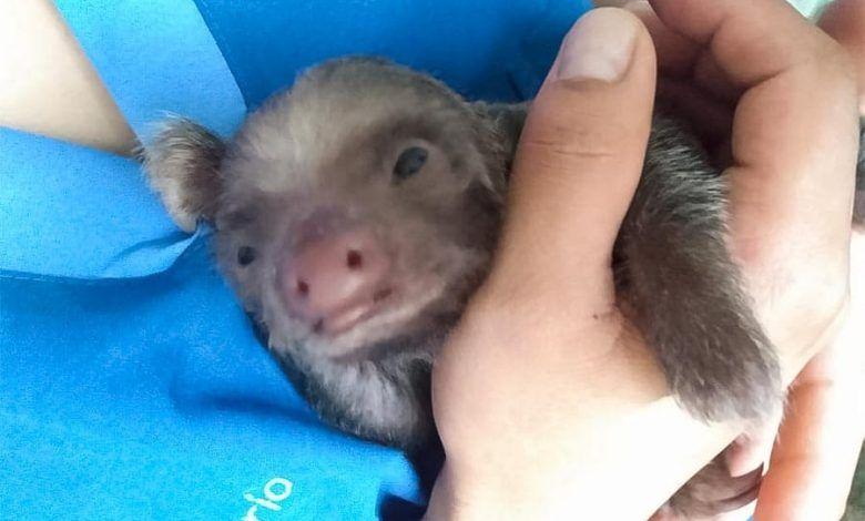 En Cerritos, rescataron cría de Oso Perezoso