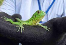 30 iguanas bebés fueron liberadas en zona rural de Cartago