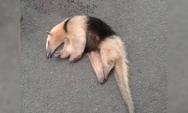 Piden medidas por muerte de oso hormiguero en la vía Cruces – Zaragoza