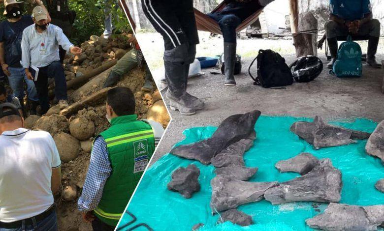 En excavación minera, hallan restos fósiles de mastodonte en Risaralda