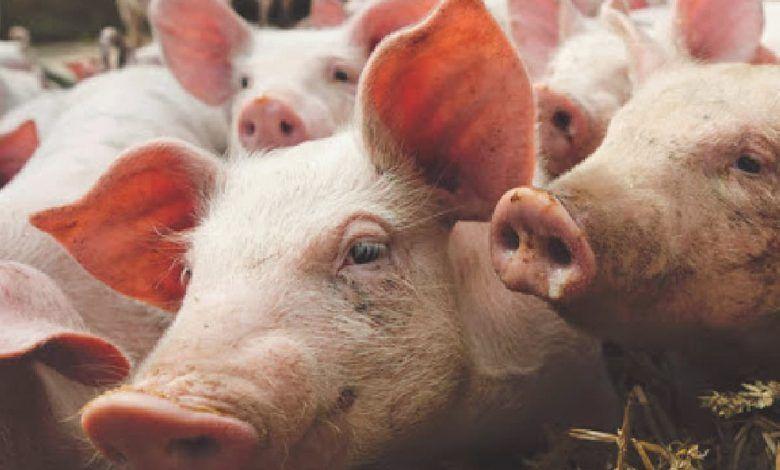Campaña para la compra segura de carne de cerdo